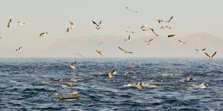Groep die dolfijnen, in de oceaan zwemmen en voor vissen jagen De het springen dolfijnen komt omhoog uit water Long-beaked gemeen Stock Foto