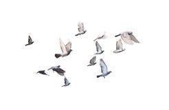 Groep die duif het geïsoleerde binnen Knippen vliegen Stock Foto