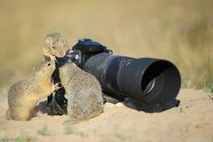 Groep die Europese grondeekhoorns aan grote beroeps kijken Stock Afbeelding
