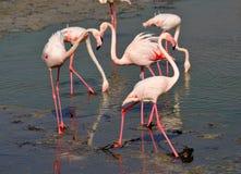 Groep die flamingo's in de modder van meer socialiseren Stock Foto