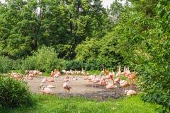 Groep die flamingo ` s, Flamingo in het gras rusten Stock Afbeeldingen
