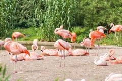 Groep die flamingo ` s, Flamingo in het gras rusten Royalty-vrije Stock Fotografie
