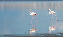 Groep die Flamingovogels op een meer lopen Stock Afbeelding