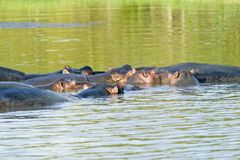 Groep die hippos in water in de Grotere St Lucia Wetland Park World Heritage Plaats ontspannen, St Lucia, Zuid-Afrika royalty-vrije stock foto's