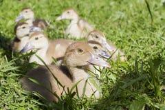 Groep die kleine grijze eenden op het gras zitten stock afbeelding