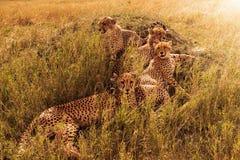 Groep die luipaarden in struiken in savanne rusten royalty-vrije stock afbeeldingen
