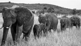 Groep die olifanten op de savanne lopen afrika kenia tanzania serengeti Maasai Mara Royalty-vrije Stock Fotografie