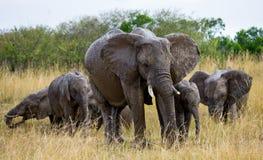 Groep die olifanten op de savanne lopen afrika kenia tanzania serengeti Maasai Mara Royalty-vrije Stock Afbeeldingen