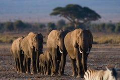 Groep die olifanten op de savanne lopen afrika kenia tanzania serengeti Maasai Mara Stock Afbeeldingen