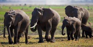 Groep die olifanten op de savanne lopen afrika kenia tanzania serengeti Maasai Mara Stock Foto