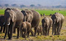 Groep die olifanten op de savanne lopen afrika kenia tanzania serengeti Maasai Mara Royalty-vrije Stock Foto