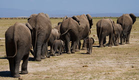 Groep die olifanten op de savanne lopen afrika kenia tanzania serengeti Maasai Mara Royalty-vrije Stock Afbeelding