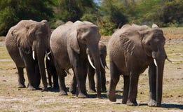 Groep die olifanten op de savanne lopen afrika kenia tanzania serengeti Maasai Mara Stock Foto's