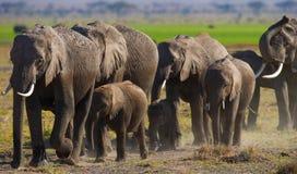 Groep die olifanten op de savanne lopen afrika kenia tanzania serengeti Maasai Mara Stock Afbeelding