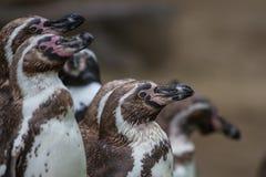 Groep die pinguïnen alertly op letten stock afbeeldingen