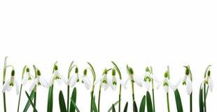 Groep die sneeuwklokjebloemen in rij groeit, isolat Stock Afbeelding