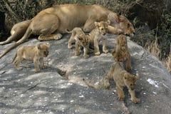 Groep die van vijf leeuwwelpen op een rots spelen Royalty-vrije Stock Foto