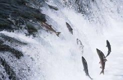 Groep die Zalm stroomopwaarts in rivier springt stock afbeelding