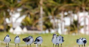 Groep die Zeemeeuw in oceaan in strand het Zuid- van Florida Miami vliegen Stock Foto's