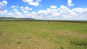 Groep dieren en vogels in savanne in Afrika stock footage
