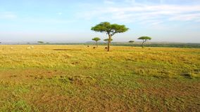 Groep dieren en vogels in savanne in Afrika stock video