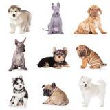 Groep diverse puppyhonden stock fotografie