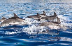 Groep Dolfijnen Royalty-vrije Stock Fotografie