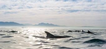 Groep dolfijnen die in de oceaan zwemmen Stock Foto