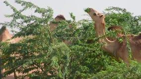 Groep dromedarius van Camelus van dromedariskamelen in de duinen van het woestijnzand van de V.A.E die erwten en bladeren van Gha stock footage