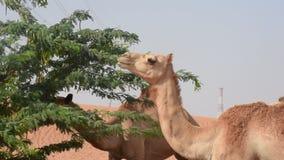 Groep dromedarius van Camelus van dromedariskamelen in de duinen van het woestijnzand van de V.A.E die erwten en bladeren van Gha stock videobeelden
