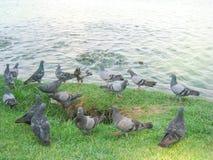 Groep duiven dichtbij de vijver Royalty-vrije Stock Foto