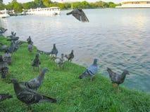 Groep duiven dichtbij de vijver Stock Afbeeldingen