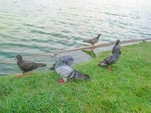 Groep duiven dichtbij de vijver Royalty-vrije Stock Fotografie