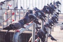 Groep duiven op de pijler langs de rivier Stock Afbeelding