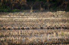 Groep eenden het lopen Stock Afbeelding