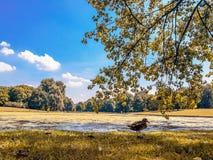 Groep eenden op het gras in een natuurreservaat op de herfst stock foto