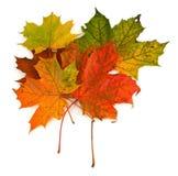 Groep esdoornbladeren stock afbeeldingen