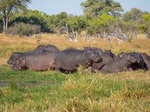 Groep of familie van hippos die en op gras dicht bij rivier, Safari in Moremi NP, Botswana, Afrika leggen weiden royalty-vrije stock afbeeldingen