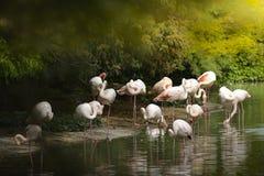 Groep flamingo's Stock Foto's
