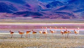 Groep Flamingo's door Laguna Colarada in Bolivië royalty-vrije stock afbeelding