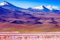 Groep Flamingo's door lagune Colarada in de bergen van Bolivië stock foto's