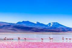 Groep Flamingo's door lagune Colarada in de bergen van Bolivië royalty-vrije stock afbeeldingen