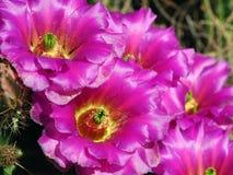 Groep Fuscia Gekleurde Cactusbloei die in het Dorre Landschap van Tucson toenemend stock fotografie