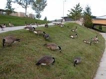 Groep ganzen die in gras voeden royalty-vrije stock foto