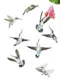 Groep Geïsoleerdee Kolibries stock foto's