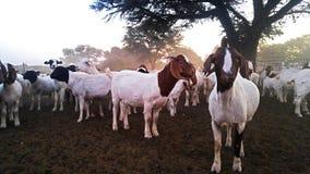 Groep geiten op een landbouwbedrijf stock fotografie