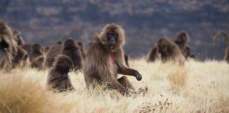 Groep Gelada-bavianen die, Theropithecus-gelada, in Ethiopië voeden royalty-vrije stock afbeelding