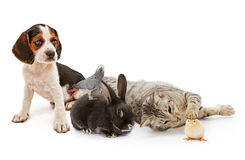 Groep gemeenschappelijke huishoudenhuisdieren Stock Foto