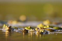 Groep gemeenschappelijke temporaria van kikkersrana in water op een mooie achtergrond Royalty-vrije Stock Afbeelding
