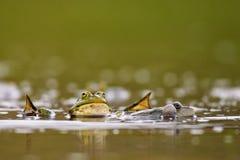 Groep gemeenschappelijke temporaria van kikkersrana in water op een mooie achtergrond Royalty-vrije Stock Foto